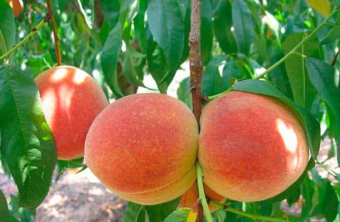 как вырасти дерево из персиковой косточки
